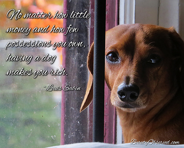 #doxie Visit BeautyObserved.com for more memes. No matter how little money and how few possessions you own, having a dog makes you rich. Louis Sabin  miniature dachshund doxie