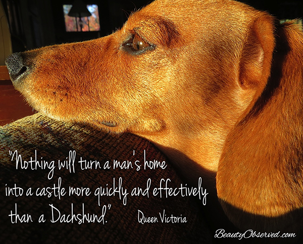 #doxie Visit BeautyObserved.com for more memes. Nothing will turn a man's home into a castle more quickly or effectively than a dachshund. Queen Victoria