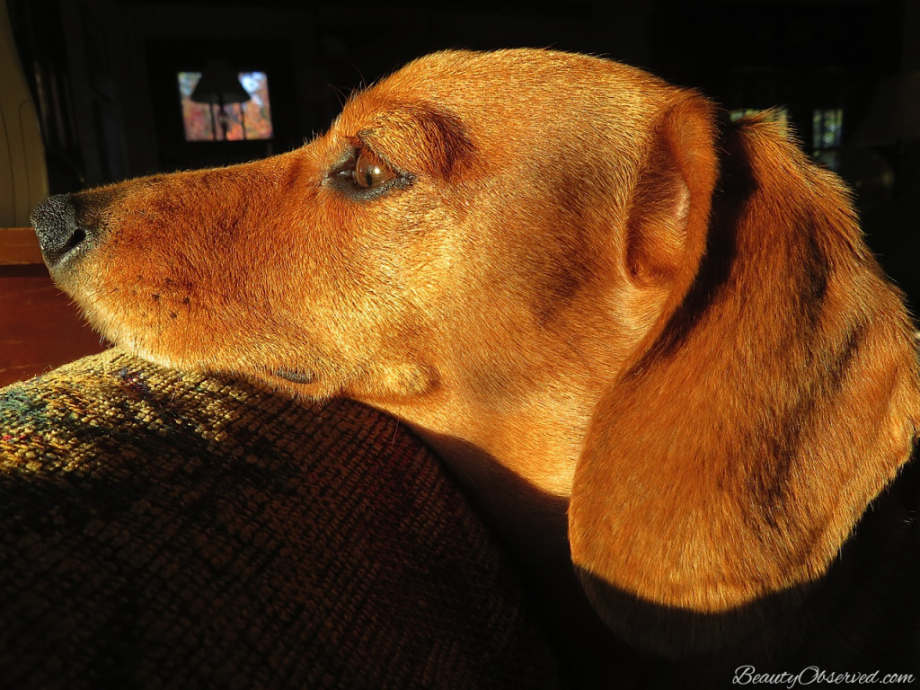 BeautyObserved.com  Nothing will turn a man's house into a castle more quickly and efficiently than a dachshund. Queen Victoria