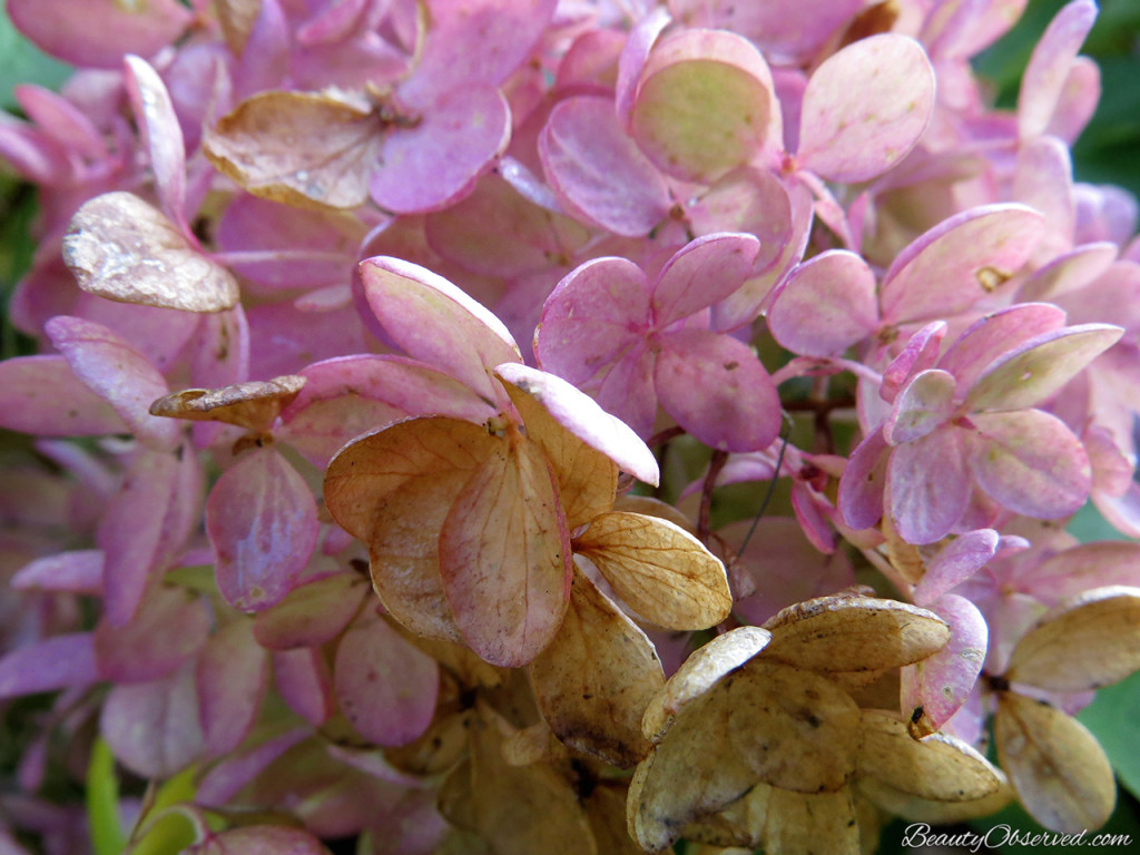 Visit BeautyObserved.com for a little bit of respite in this busy world. Beautiful photography and inspirational memes. pee gee hydrangea