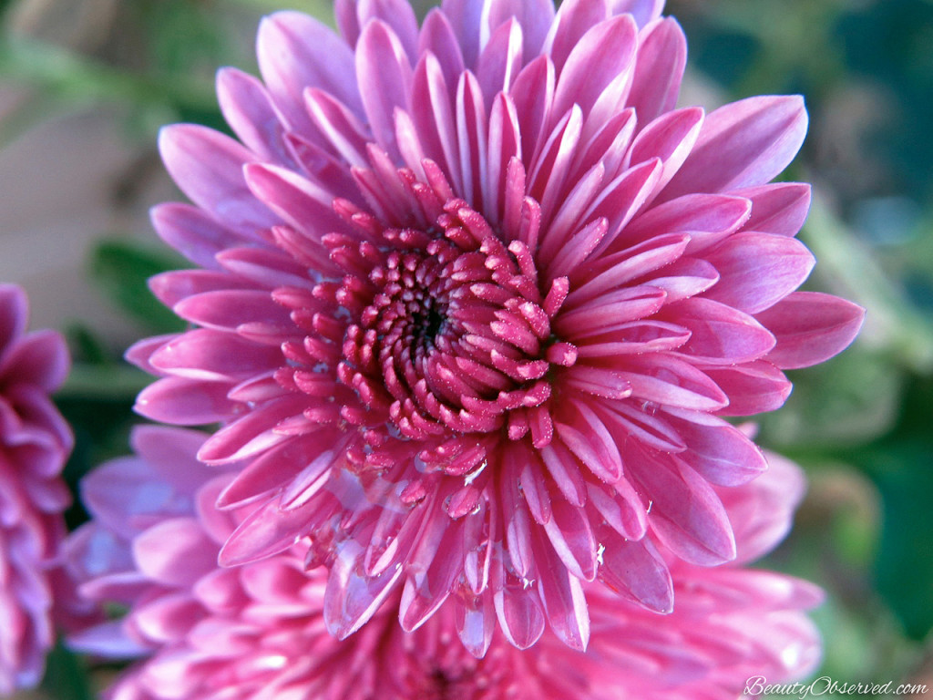 Hardy purple mum. Visit Beauty Observed for a bit of respite in this busy world.