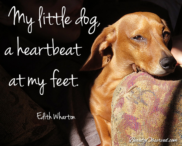 #doxie Visit BeautyObserved.com for more memes. My little dog-a heartbeat at my feet. Edith Wharton