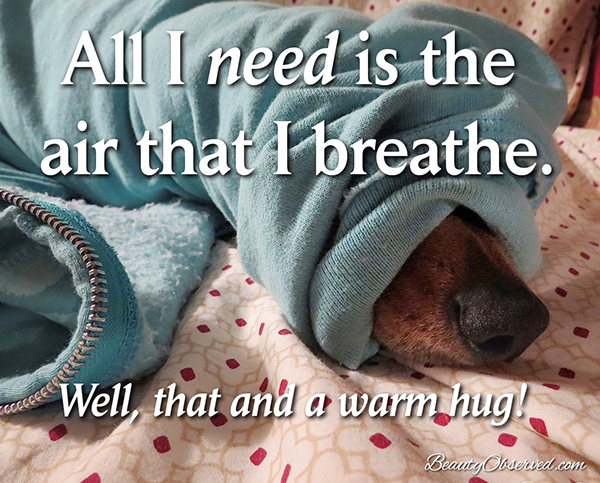 Visit BeautyObserved.com for more memes. #dachshund #doxie All I need is the air that I breathe.