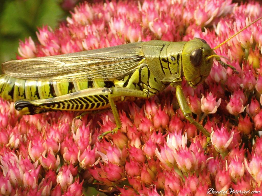 BeautyObserved.com  #grasshopper #Autumnjoysedum My soul finds rest. Psalm  62:1