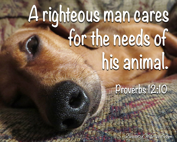 visit www.beautyobserved.com for more inspirational memes and beautiful photography #doxie Righteous man cares for the needs of his animal Proverbs 12:10 #dachund