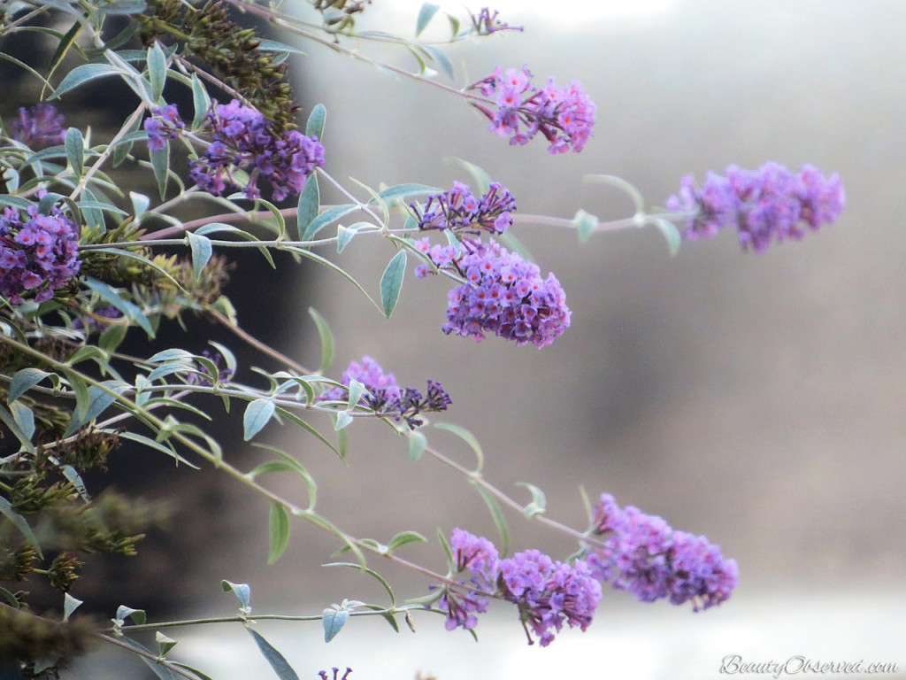 Visit BeautyObserved.com for a little bit of respite in this busy world. Beautiful photography and inspirational memes. Butterfly bush Buddleia