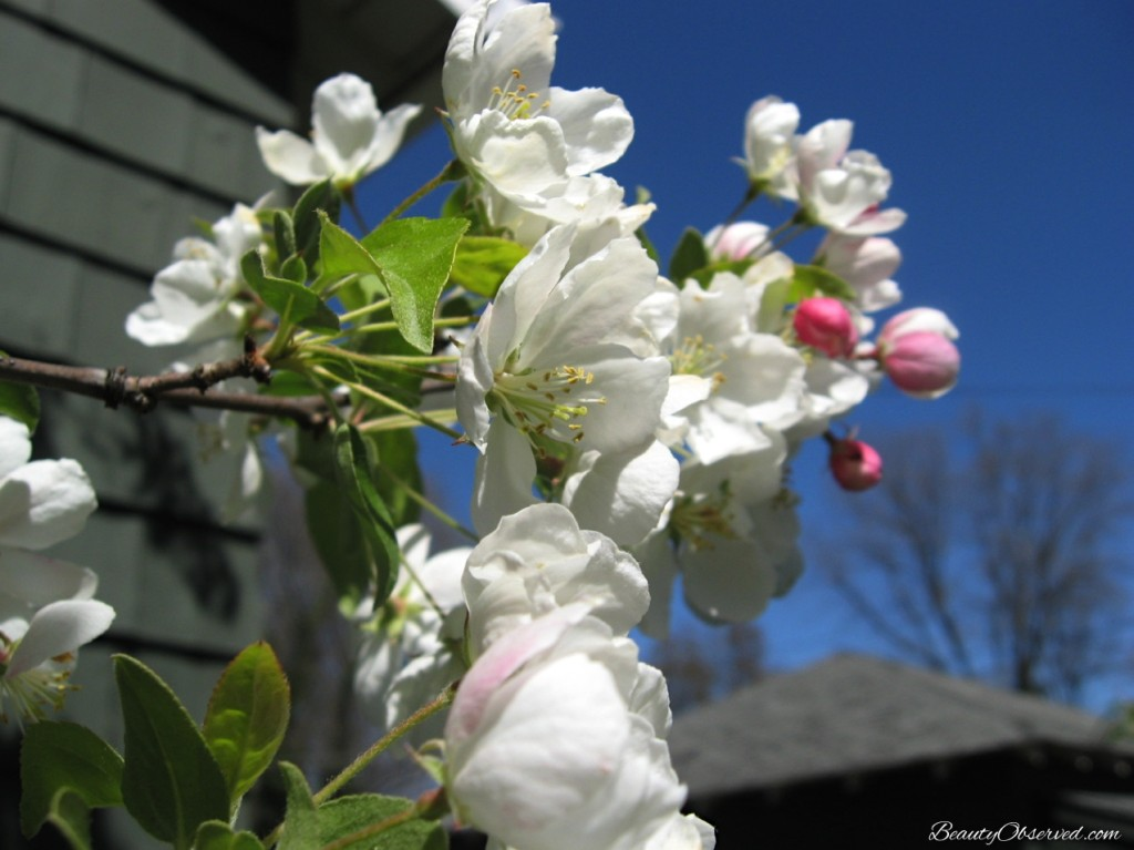 White spring blossoms against a blue sky