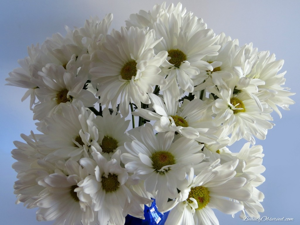 White daisies.  The Beauty of a Quiet Life from Beautyobserve.com