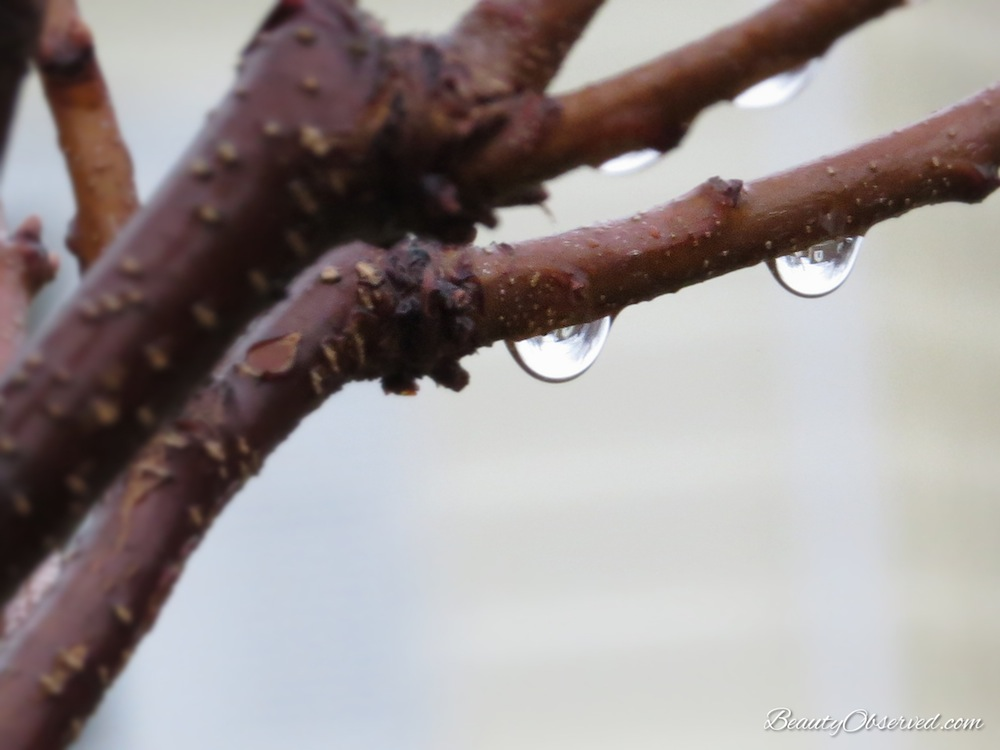 Raindrops on branches in springtime. Beauty Observed