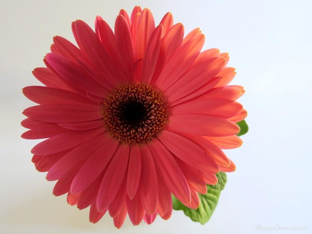 pink-Gerbera-daisy-full-blossom