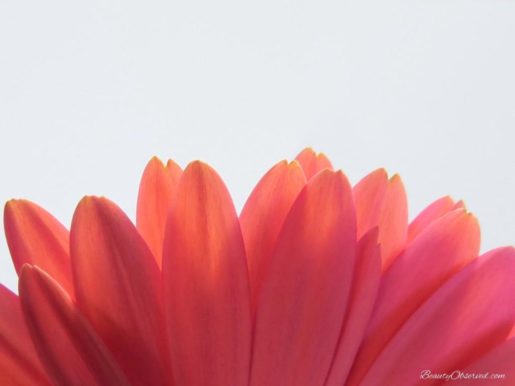 pink-Gerbera-daisy-petals-macro