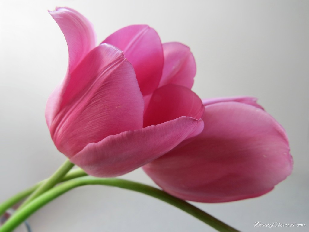 two-pink-tulips-beautyobserved