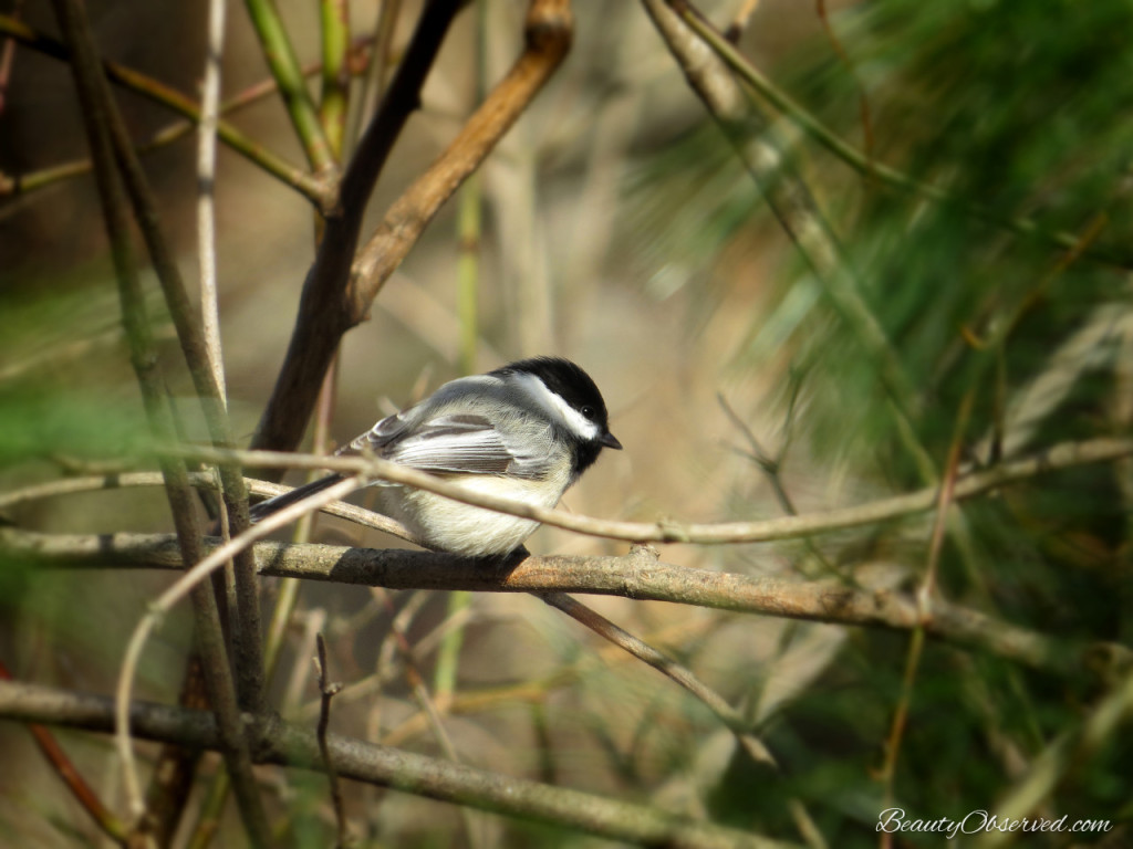 Black capped chickadee from Beauty Observed