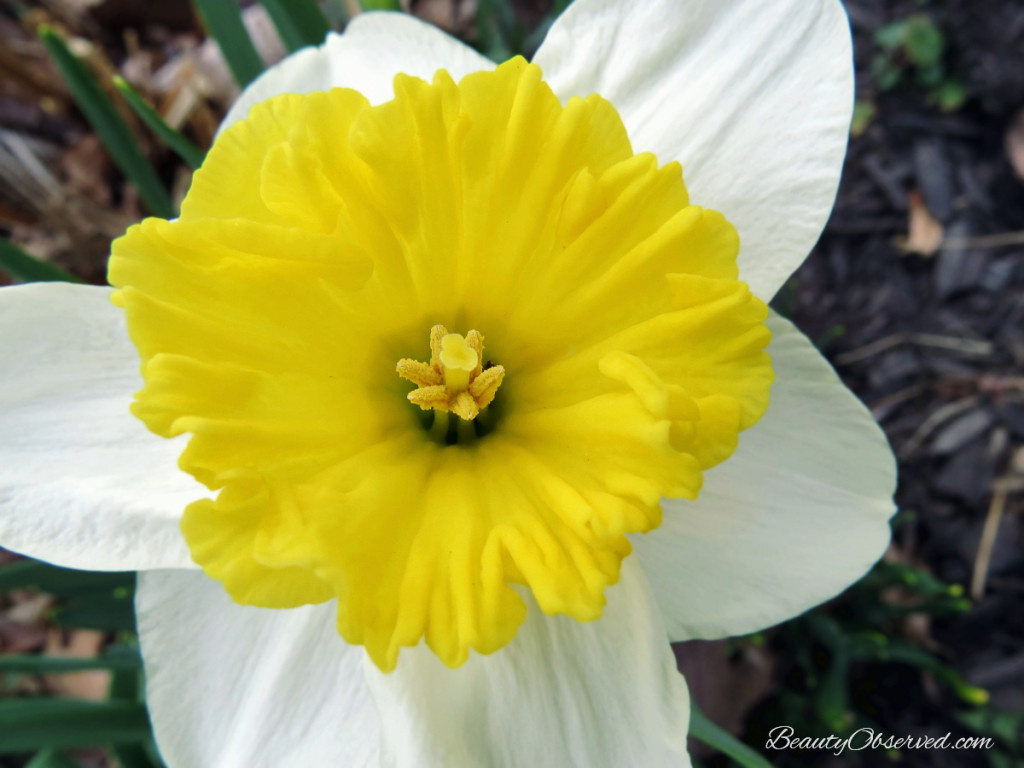 Easter is Coming! Daffodil from Beauty Observed