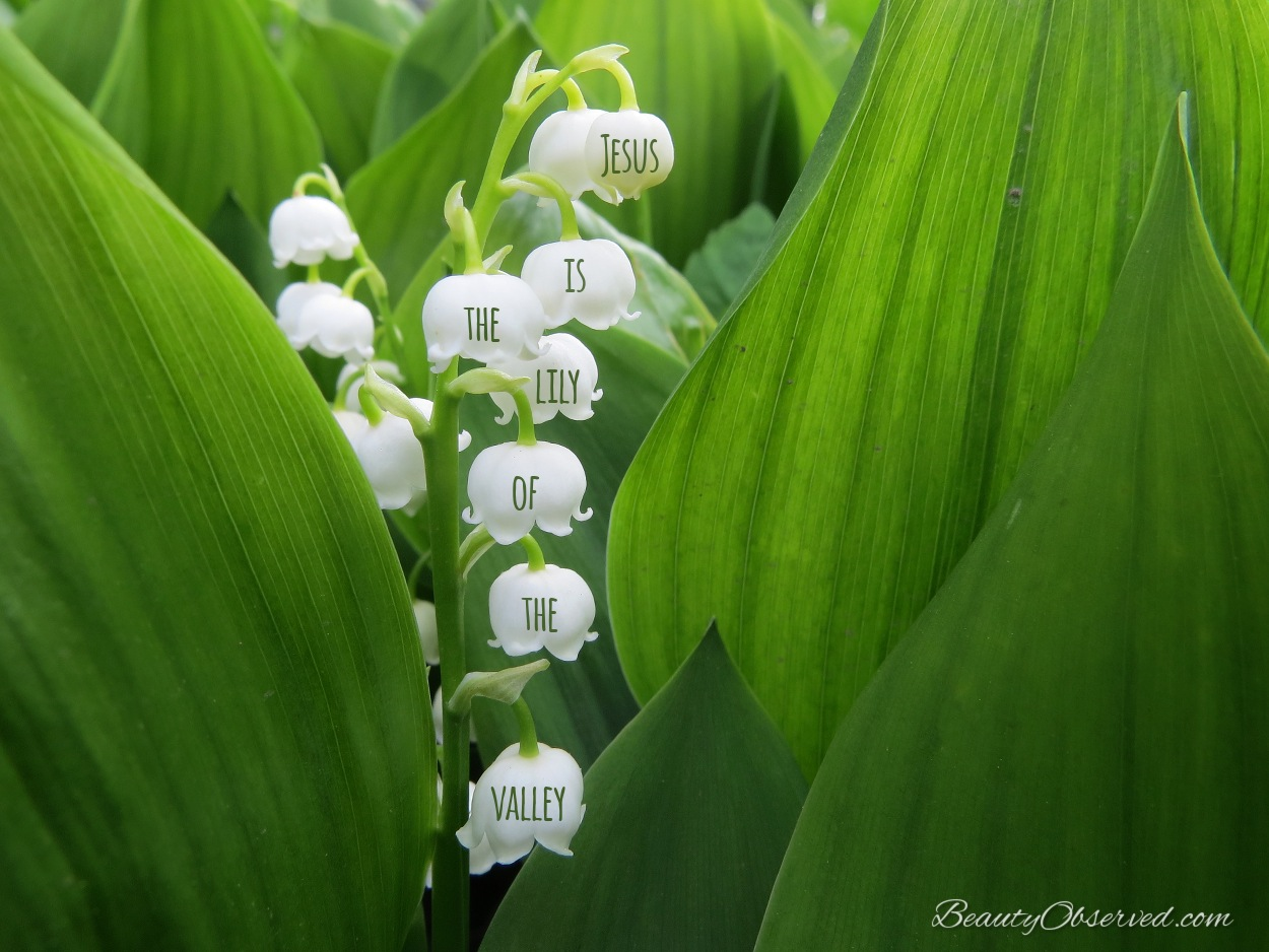 Jesus is the lily of the valley beauty observed jesus is the lily of the valley izmirmasajfo Images