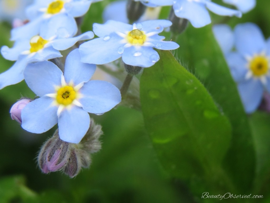 Forget-Me-Nots-macro Beauty Observed