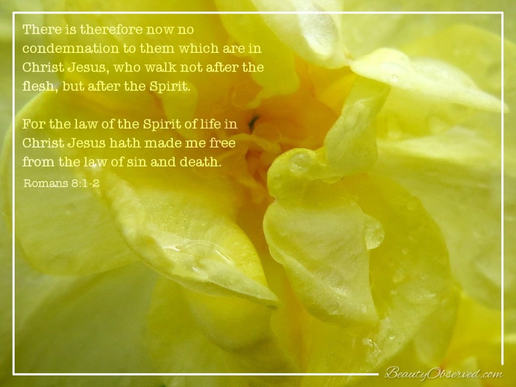 daffodil-raindrop-no-condemnation-beauty-observed-Romans-8-1-2