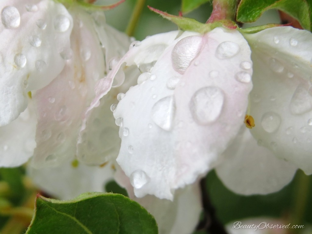 Raindrops on white crabapple blossoms from Beauty Observed