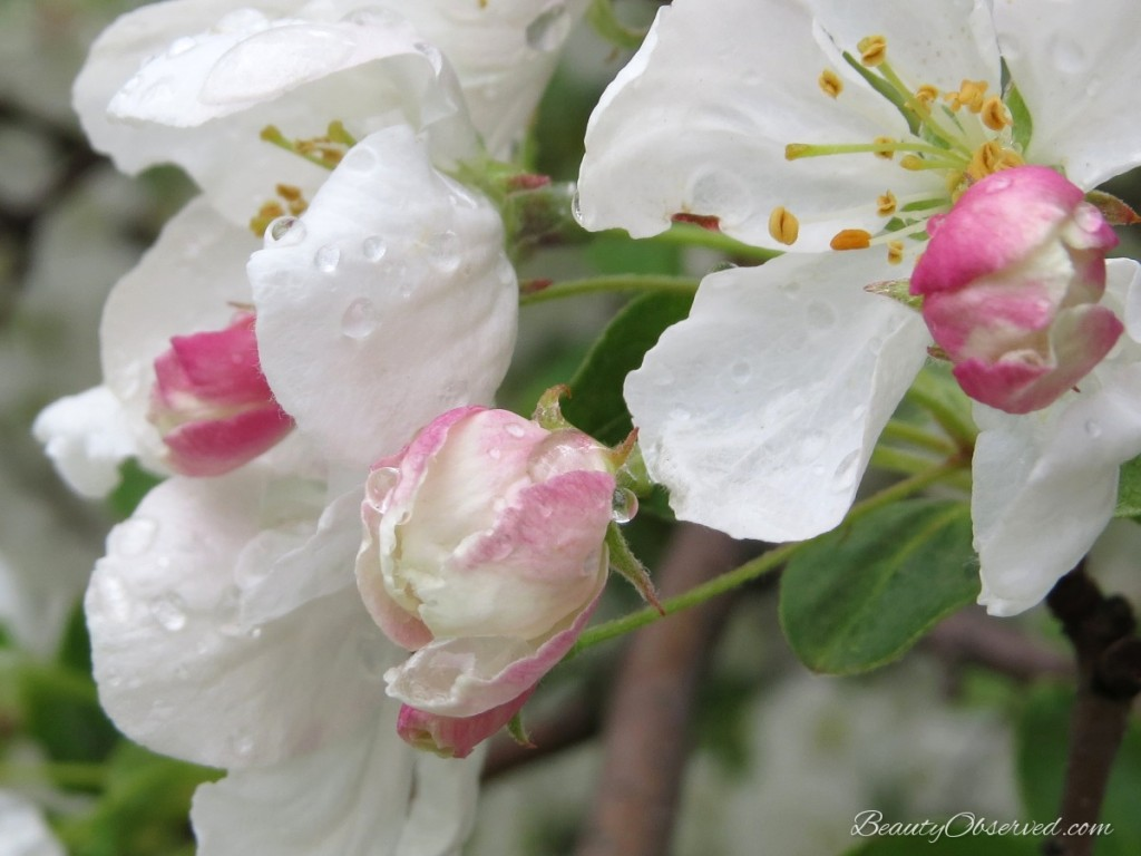 White and pink crab apple blossoms from a post about teaching children about beauty
