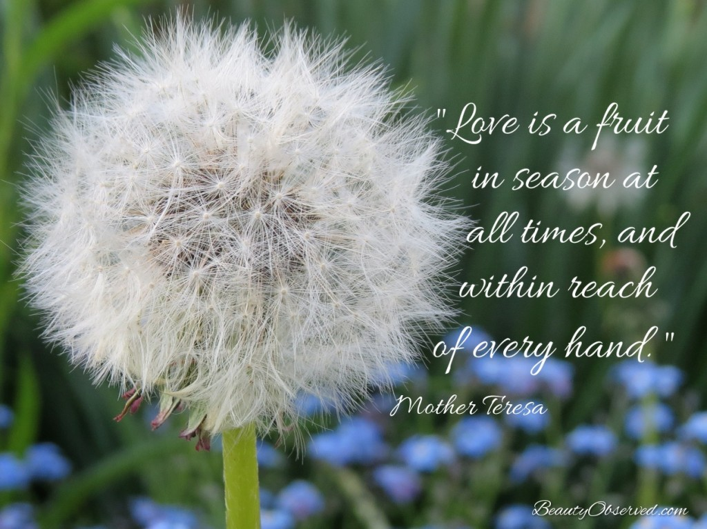 Love is a fruit in season at all times, and within reach of every hand-Mother Teresa dandelion meme