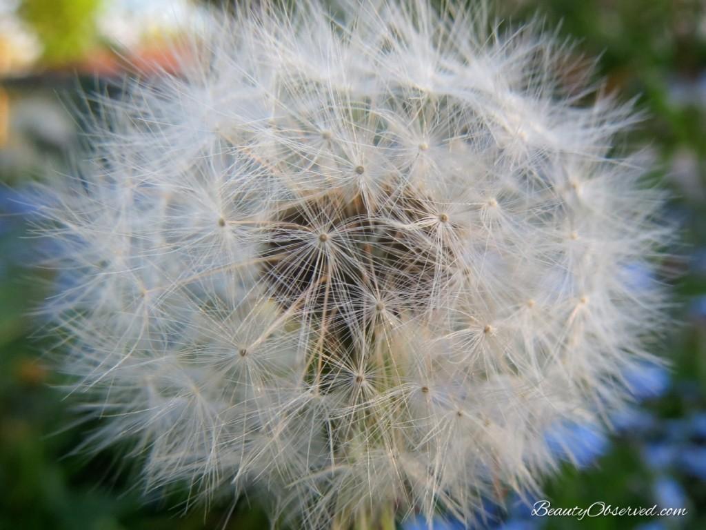 Macro dandelion fluff