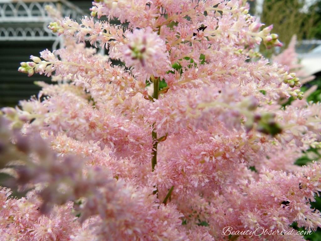 detail-pink-fernlike