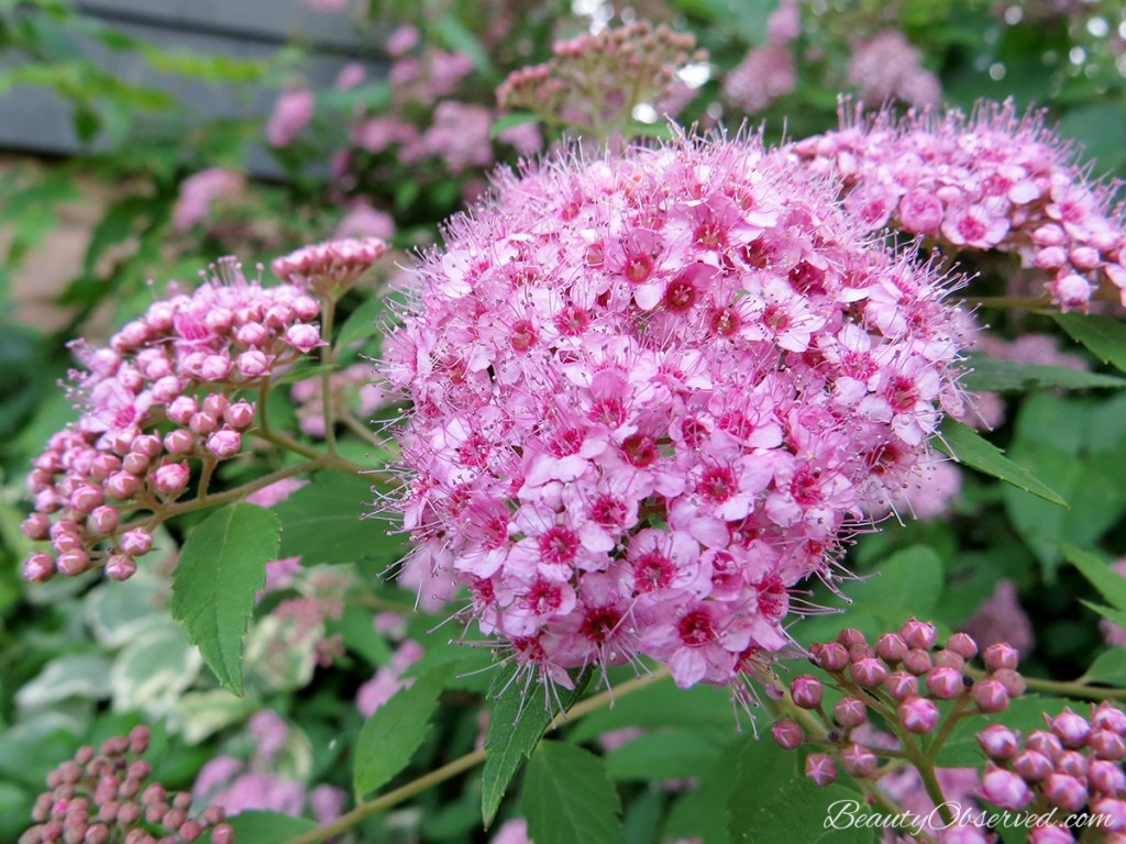 Pink spirea, 20 fantastically beautiful things about summer