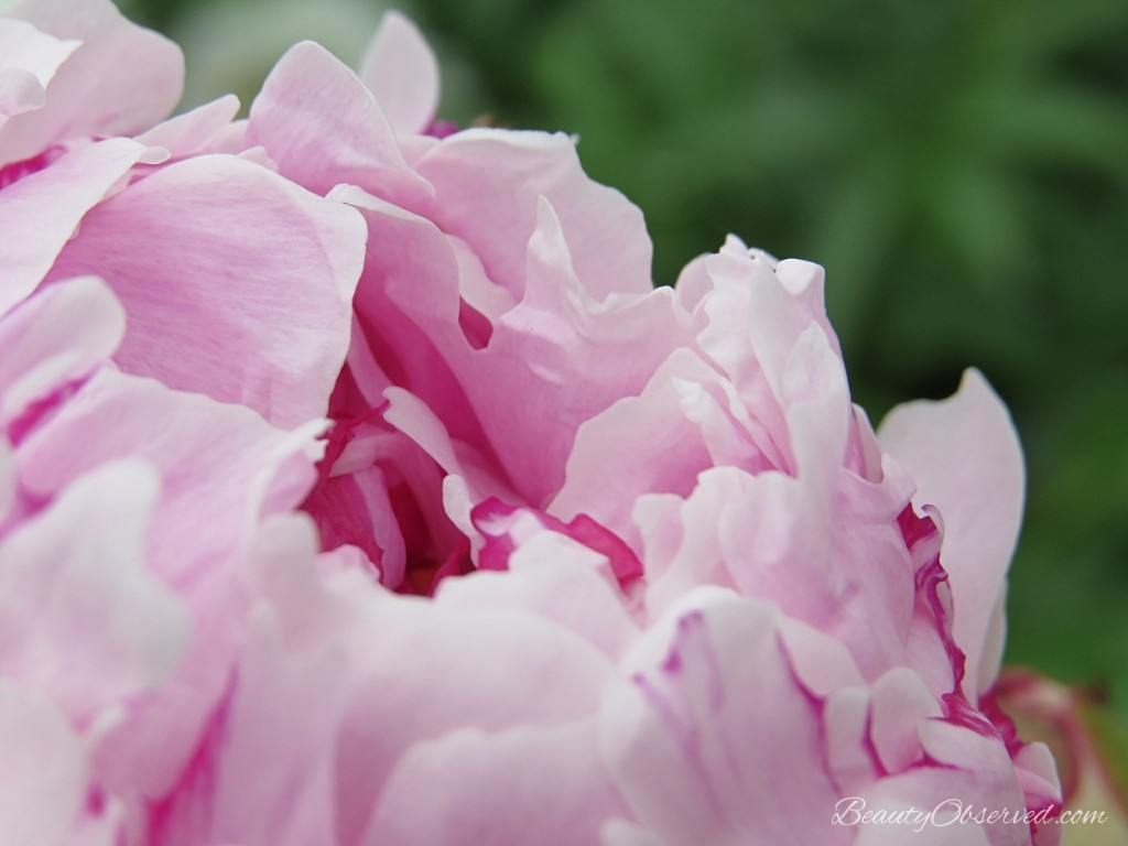 Macro pink peony with deep pink stripes from beauty observed