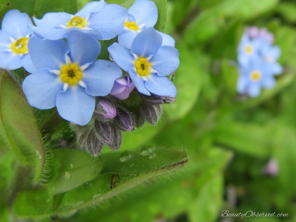 raindrops on blue forget-me-nots