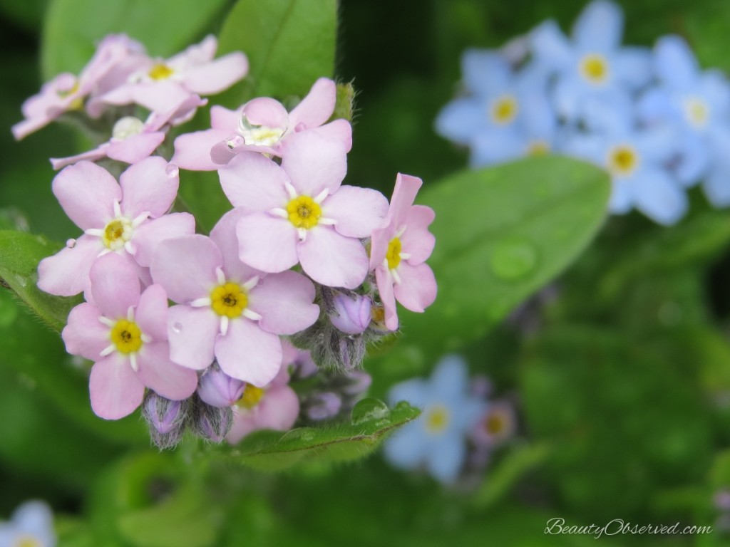 Raindrops on pink forget-me-nots