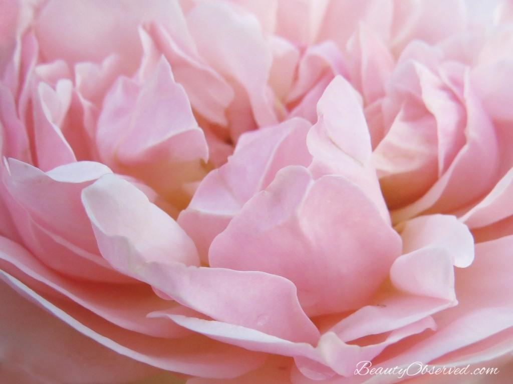 rose-petals-soft