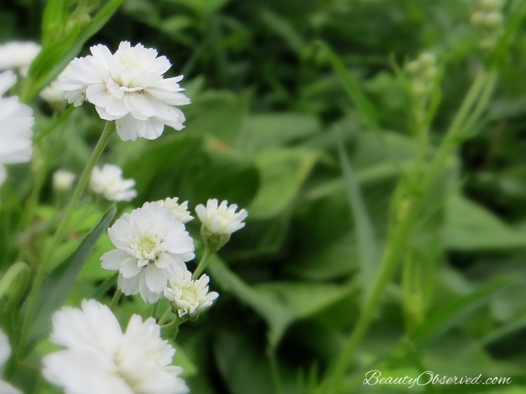 soft-white-wildflowers