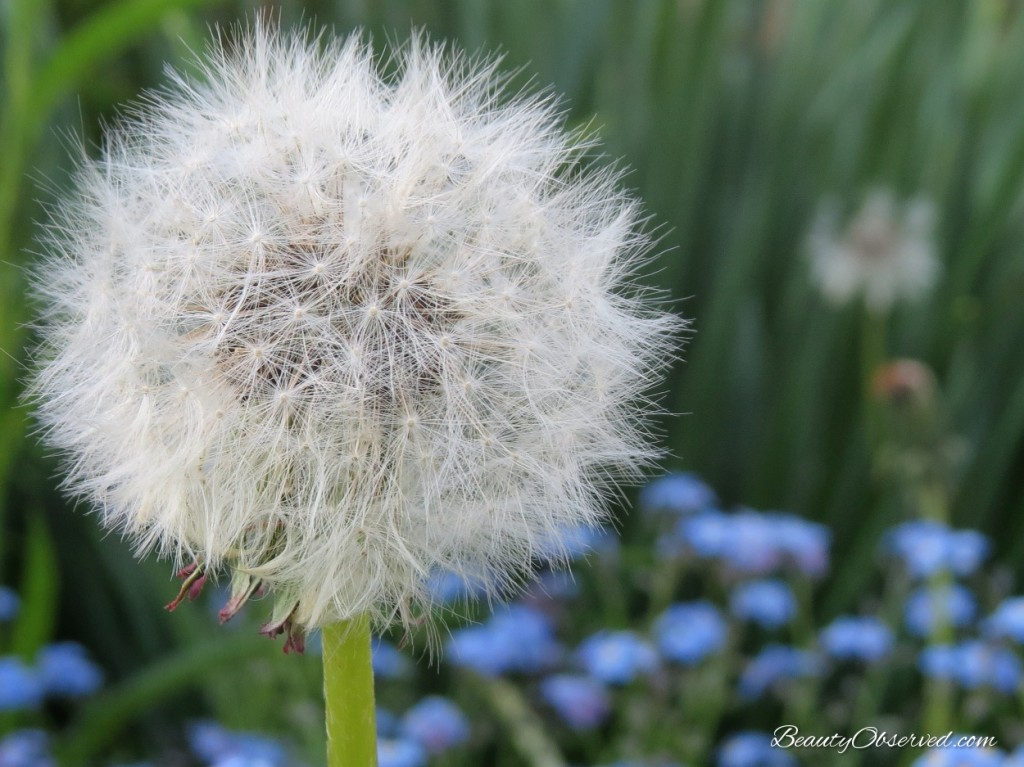 White dandelion fluff from a post about teaching children about beauty