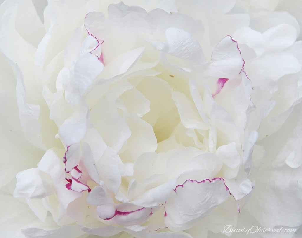 White Peony from a post about teaching children about beauty