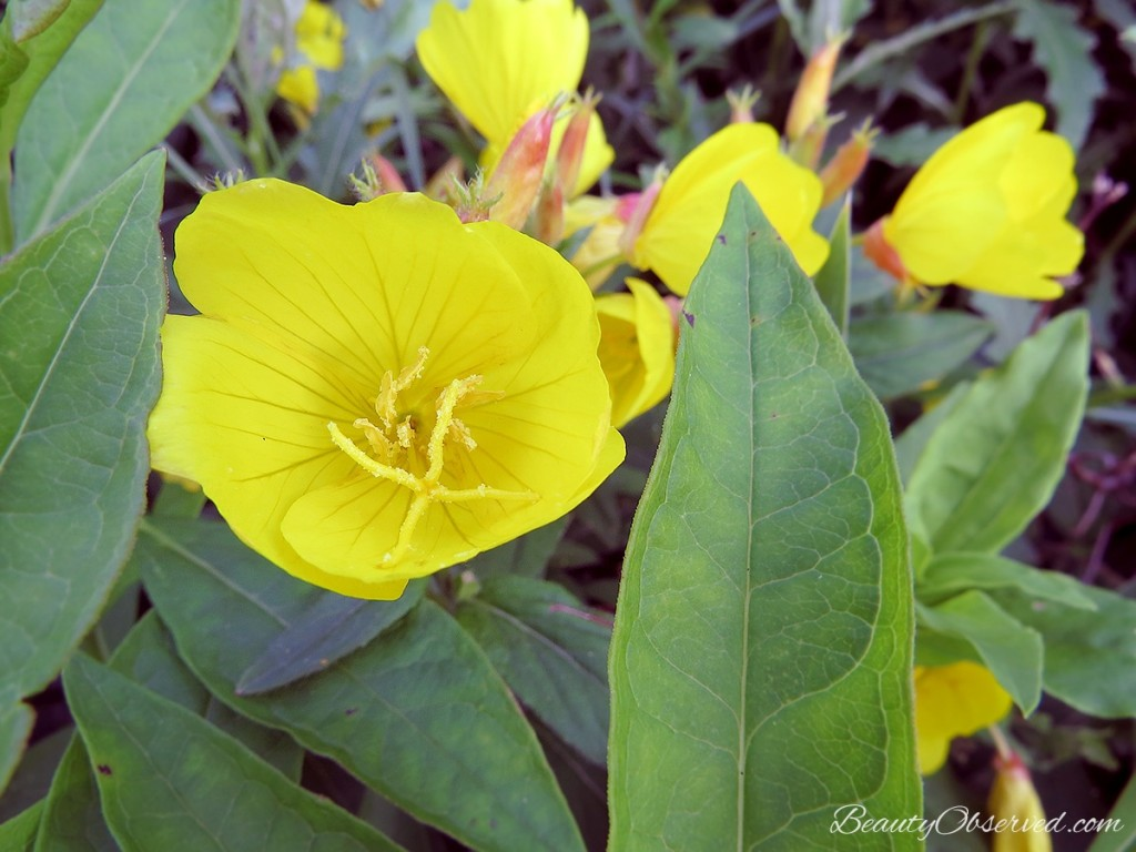Yellow primrose, 20 Fantastically beautiful things about summer.