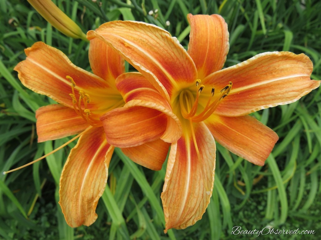 Lessons From My Garden  orange daylily