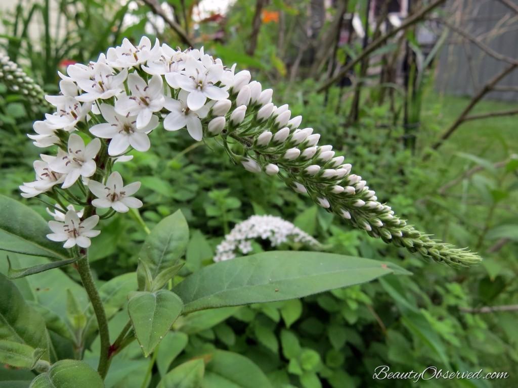 Lessons From My Garden gooseneck loosestrife