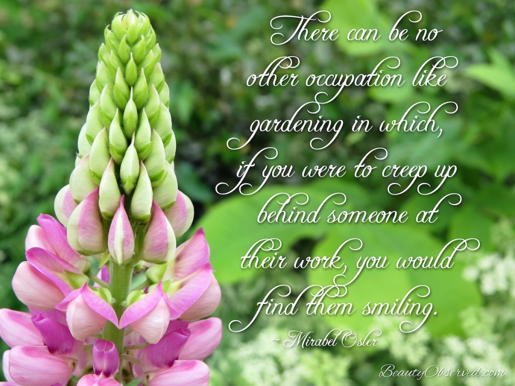 There can be no other occupation like gardening in which, if you were to creep up behind someone at their work, you would find them smiling. ~Mirabel Osler pink lupine