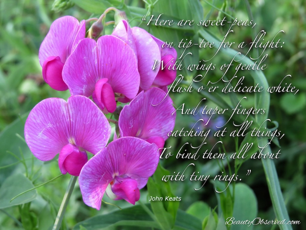 """""""Here are sweet-peas, on tip-toe for a flight:/ With wings of gentle flush o'er delicate white,/ And taper fingers catching at all things, / To bind them all about with tiny rings.""""  John Keats pink sweet peas"""