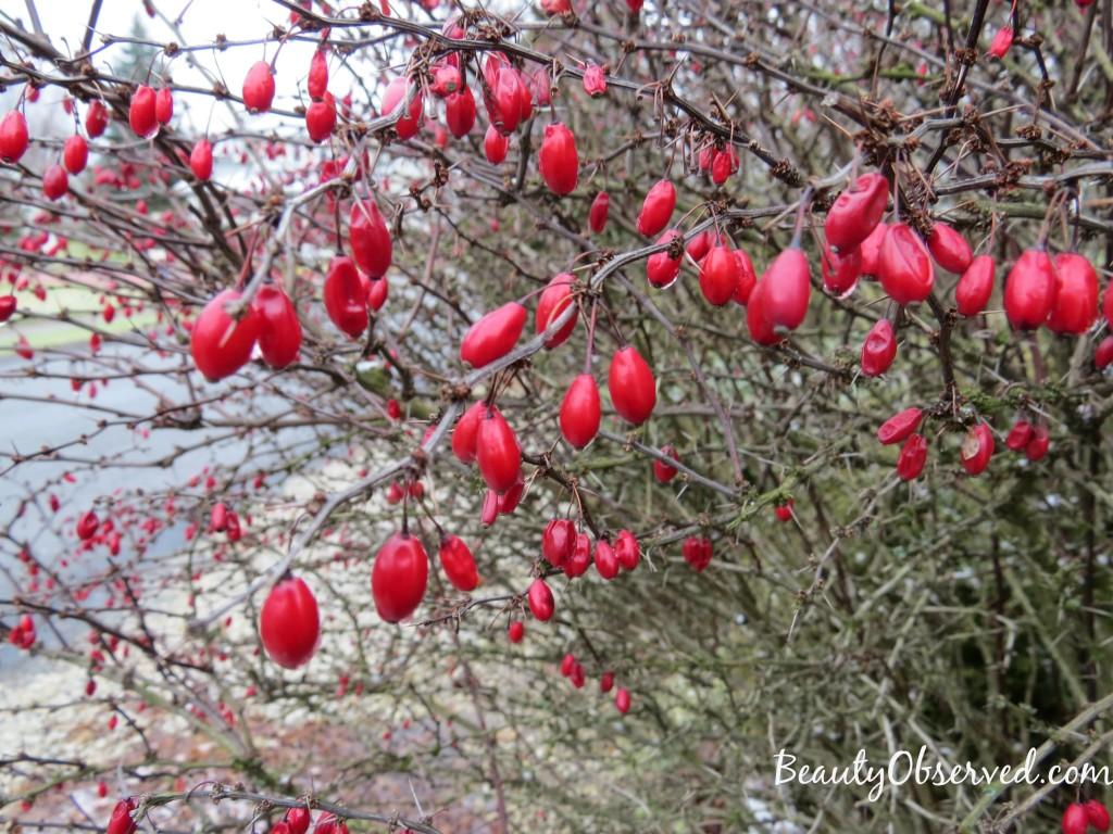red-berries-thorns-rain