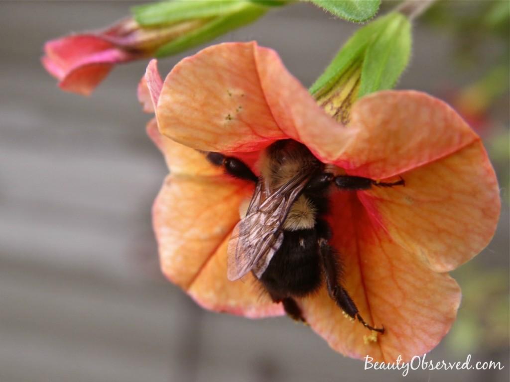 orange-calibrachoa-bumble-bee