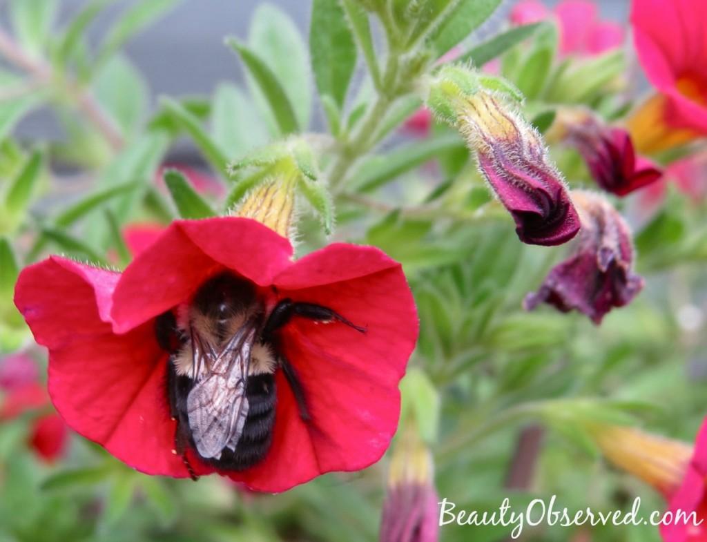 red-calibrachoa-bumble-bee-1