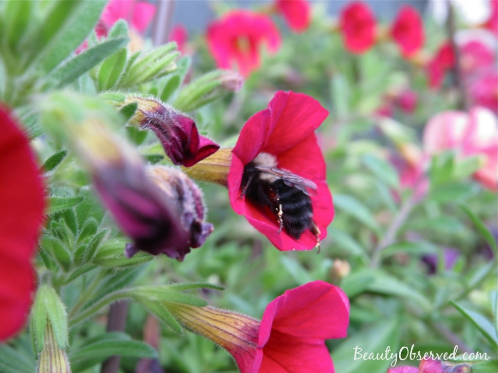 red-calibrachoa-bumble-bee-2