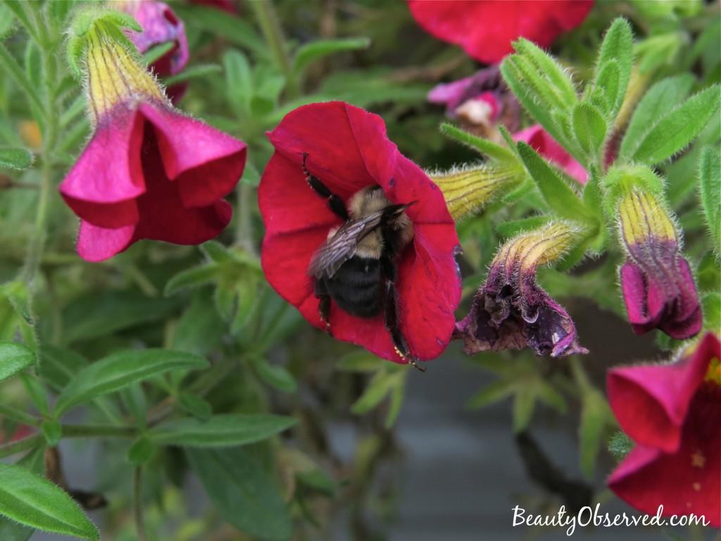 red-calibrachoa-bumble-bee-3